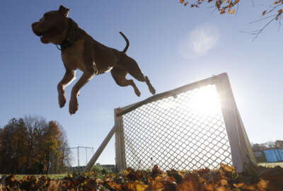 In this Wednesday, Nov. 4, 2015 photo, Kiah clears a hurdle on an obstacle course at K9 school in Stone Ridge, N.Y. Kiah, a two-and-a-half year old pit bull, will soon join the Poughkeepsie Police Department as a crime-fighting, drug-sniffing police dog, a move that advocates of the breed say will counter the stereotypical image of the dog as a dangerous breed beloved by criminals. (AP Photo/Mike Groll)