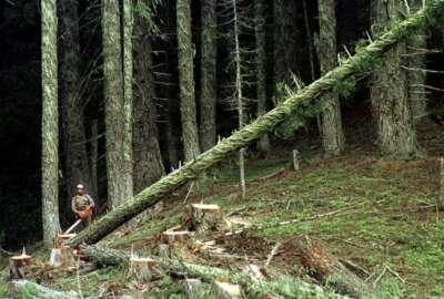FILE - In this undated file photo, a large fir tree heads to the forest floor after it is cut by an unidentified logger in the Umpqua National Forest near Oakridge, Ore. So much timber money once flowed into this rural Oregon county that its leaders set up committees to find ways to spend it. Today, Douglas County's library system is on life support, and its sheriff's department is on track to lose funding. Nearly 30 years after environmental protections slashed logging in federal forests, Oregon counties like this one that thrived on timber revenues for decades are struggling to provide basic services. (AP Photo/Don Ryan, File)