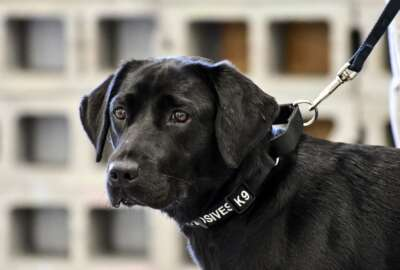 In this image provided by the CIA, young detector dog Lulu, during her initial training as a bomb detector dog. Lulu lost her love of sniffing out bombs and has returned to civilian life. The agency says that just a few weeks into her training, the black Labrador with flappy ears just wasn't interested in detecting explosive odors anymore. She sought a different future and found one in a loving handler, who adopted her. (CIA via AP)