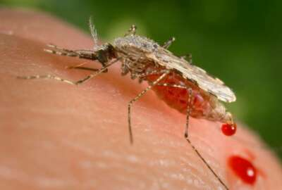 FILE - This file photo provided by the Centers for Disease Control and Prevention (CDC) shows a feeding female Anopheles Stephensi mosquito crouching forward and downward on her forelegs on a human skin surface, in the process of obtaining its blood meal through its sharp, needle-like labrum, which it had inserted into its human host. Ugandan Brian Gitta, 25, has won in 2018 a prestigious engineering prize for a non-invasive malaria test kit that is hoped to become widely used across Africa. (James Gathany/CDC via AP, File)