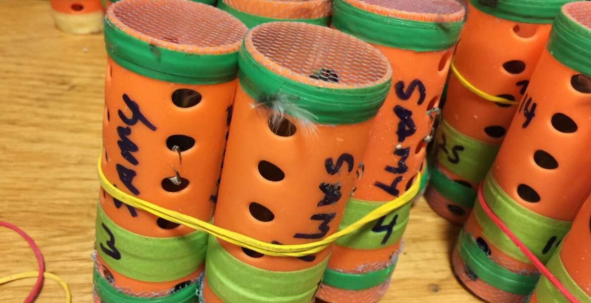 In this photo provided by the U.S. Customs and Border Protection, some of the 70 live finches hidden inside hair rollers found Saturday, Dec. 8, 2018, at New York's John F. Kennedy International Airport are displayed. Authorities say a passenger arriving from Guyana had the songbirds in a duffel bag. (U.S. Customs and Border Protection via AP)