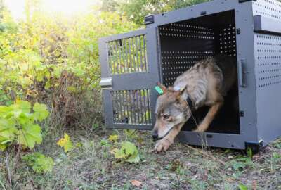 FILE - This Sept. 26, 2018 file photo provided by the National Park Service shows a 4-year-old female gray wolf emerging from her cage at Isle Royale National Park in Michigan.  Environmental research projects on endangered animals and air and water quality are being delayed and disrupted by the monthlong partial federal government shutdown and not just those conducted by government agencies.   (National Park Service via AP, File)