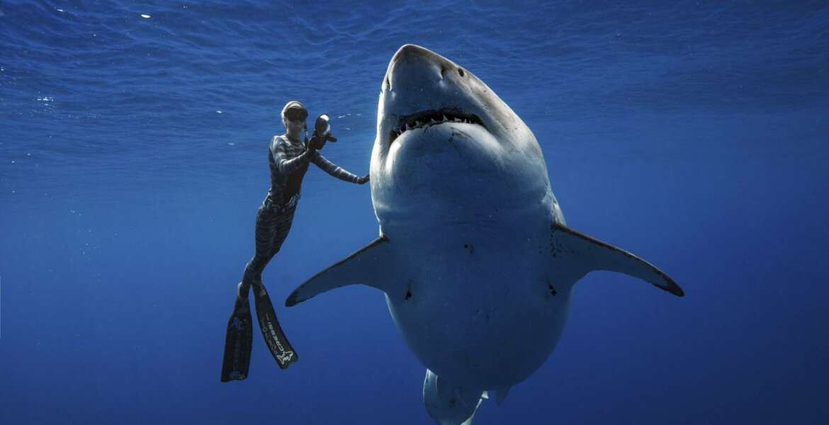 In this Jan. 15, 2019 photo provided by Juan Oliphant, Ocean Ramsey, a shark researcher and advocate, swims with a large great white shark off the shore of Oahu. The two shark researchers came face-to-face with what could be one of the largest great whites ever recorded.  They are using their encounter as an opportunity push for legislation that would protect sharks in Hawaii. (Juan Oliphant via AP)