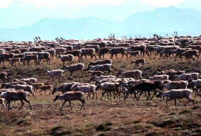 FILE - In this undated file photo provided by the U.S. Fish and Wildlife Service, caribou from the Porcupine Caribou Herd migrate onto the coastal plain of the Arctic National Wildlife Refuge in northeast Alaska.  (U.S. Fish and Wildlife Service via AP, File)