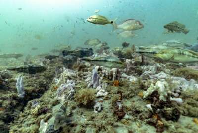 Black sea bass, red snapper and tomtate swim over a carpet of invertebrates and algae at Gray's Reef National Marine Sanctuary Monday, Oct. 28, 2019, off the coast of Savannah, Ga. (AP Photo/David J. Phillip)