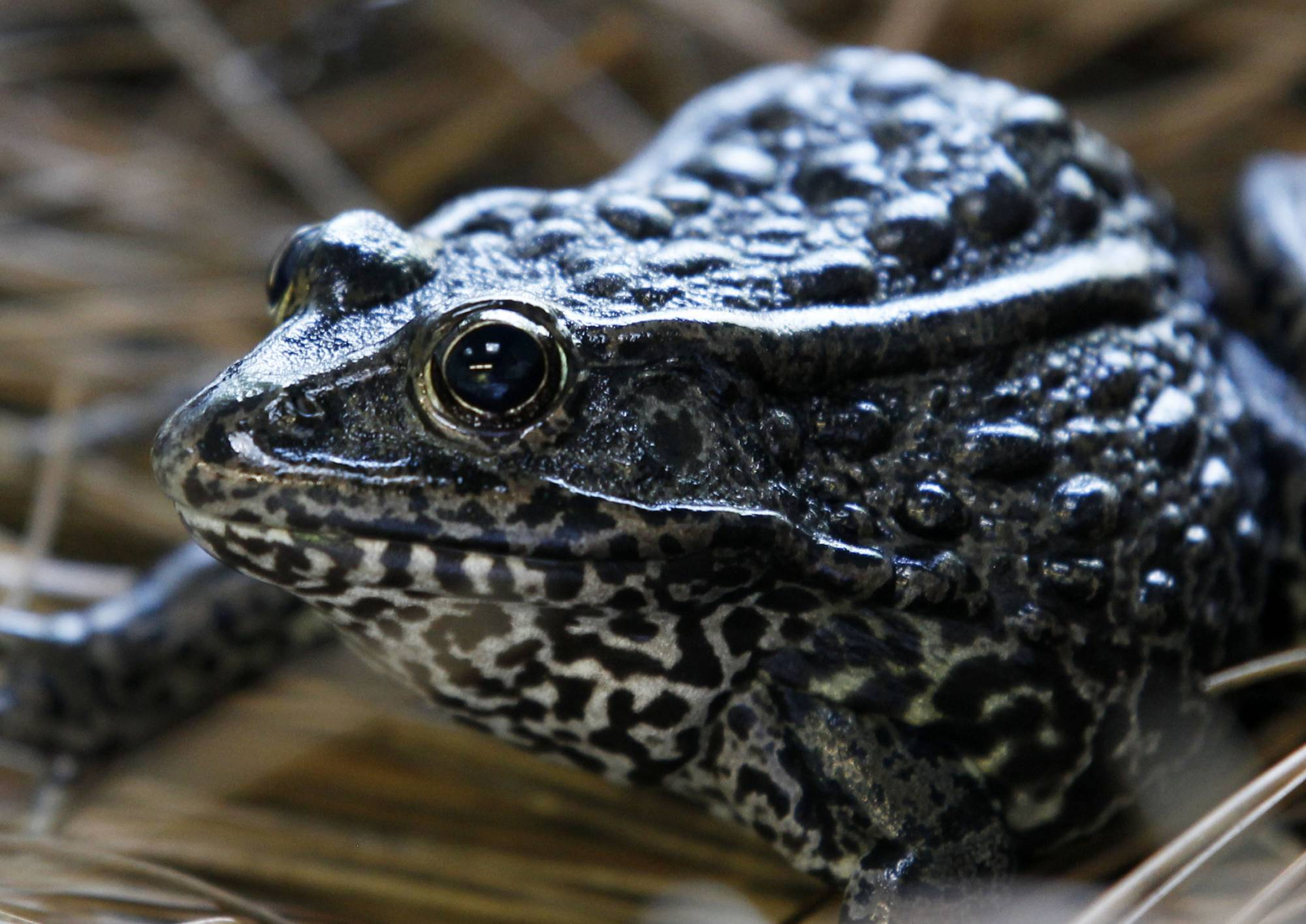 FILE - In this Sept. 27, 2011, file photo is a gopher frog at the Audubon Zoo in New Orleans. Federal officials are proposing on Friday, Sept. 4, 2020, changes to how the endangered species act is used following a U.S. Supreme Court ruling on habitat for the frog. (AP Photo/Gerald Herbert, File)